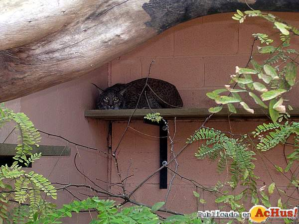 Foto de la noticia /public/fotos/lince-zoo-jerez_small.jpg