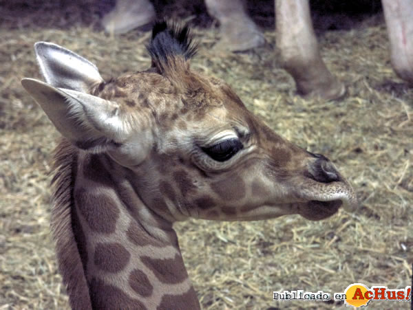 Foto de la noticia /public/fotos2/CRIA-JIRAFA-ZOO-MADRID-16042014.jpg