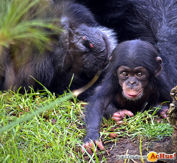 Foto de la noticia /public/fotos3/Chimpances-17092018.jpg