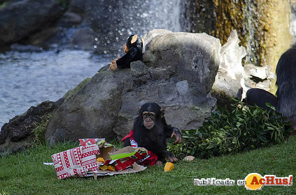 Foto de la noticia /public/fotos3/Regalos-Papa-Noel-Chimpances-23122020.jpg